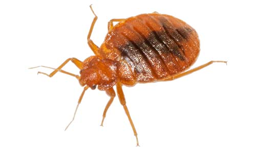 Bed Bug Removal Stoke on Trent
