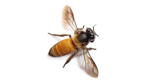Bee Removal Stoke on Trent