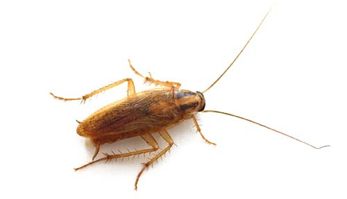 Cockroach Control Stoke on Trent
