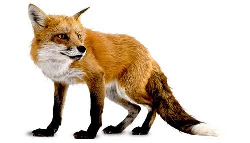 Fox Control Stoke on Trent