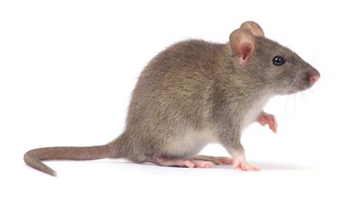 Rats and Mice Control Stoke on Trent