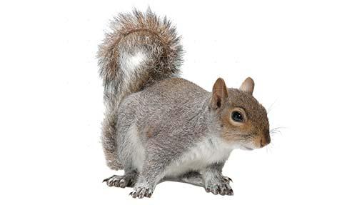 Squirrel control Stoke on Trent