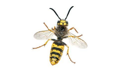 Wasp Removal Stoke on Trent