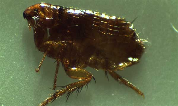 Flea removal services Stoke on Trent
