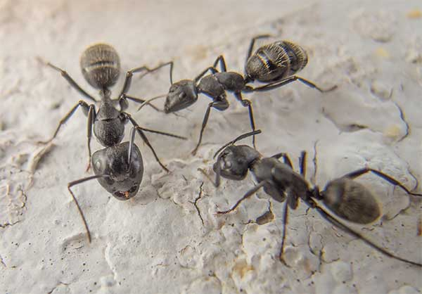 Ant Control & Removal Stoke on Trent