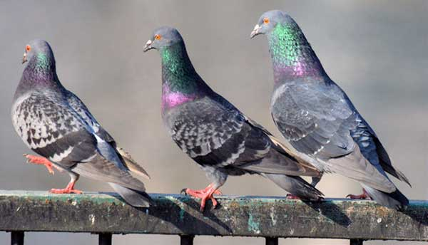 Bird Control Stoke on Trent