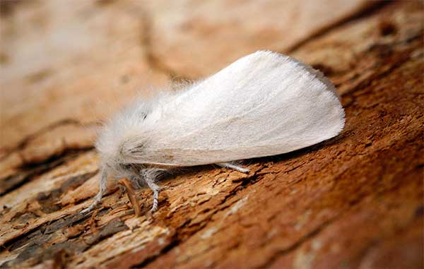 Brown-tail Moth control
