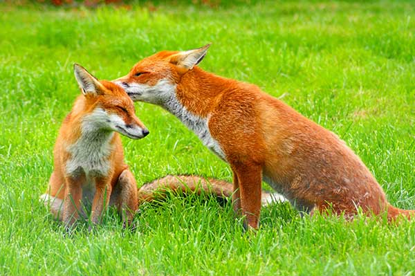 Fox Control & Removal Stoke on Trent