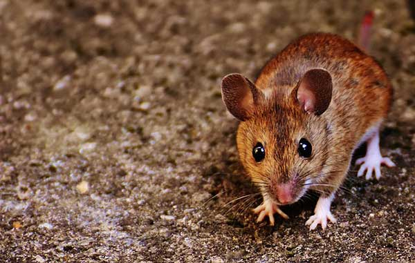 Rats & Mice Control & Removal