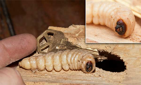 Woodworm removal Stoke on Trent
